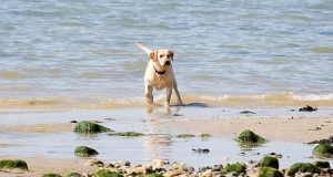 cane bay summerville dog on beach