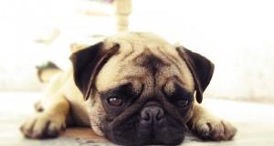 anxiety-dog
