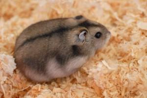 Cane Bay Summerville - Hamster