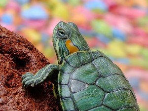 Cane Bay Summerville - Turtle