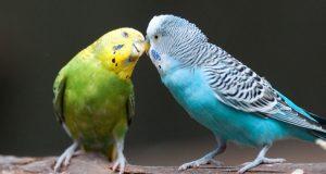 Cane Bay Summerville - Parakeets