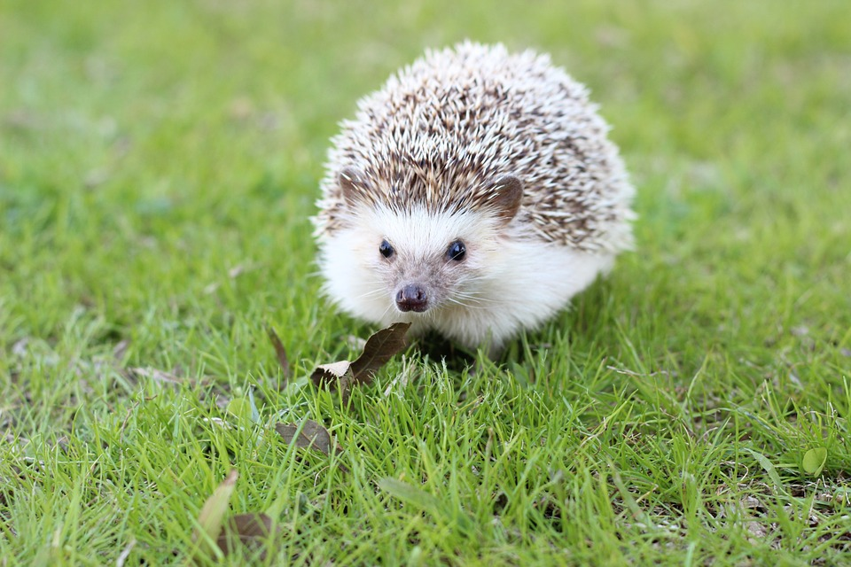 Cane Bay Summerville - exotic pets hedgehogs