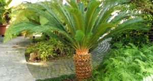 Cane Bay Summerville - Sago Palm Plant Poisonous to Pets