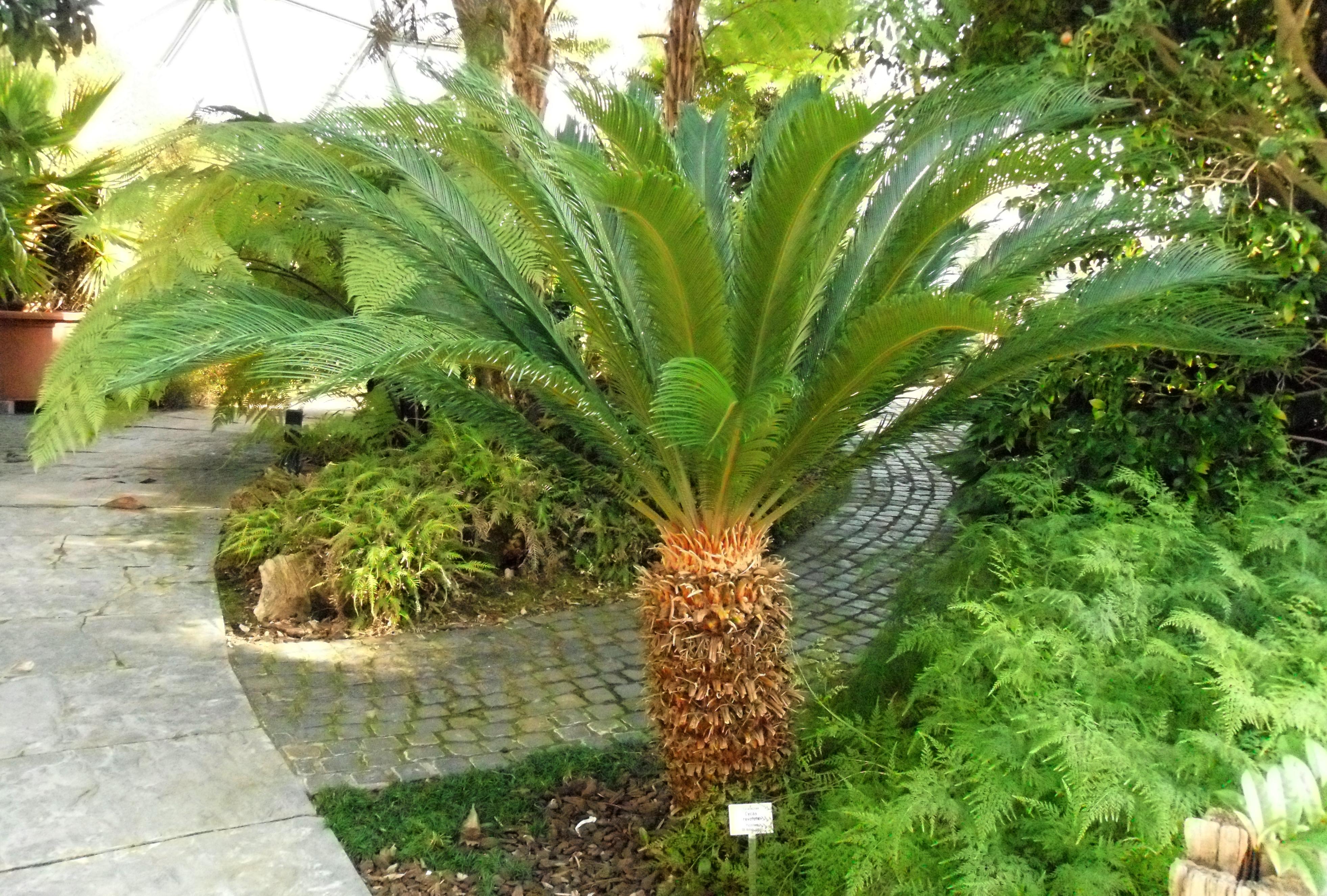 Cane Bay Summerville - Sago Palm Plant Poisonous to Pets