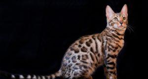 Cane Bay Summerville - Hybrid Cats