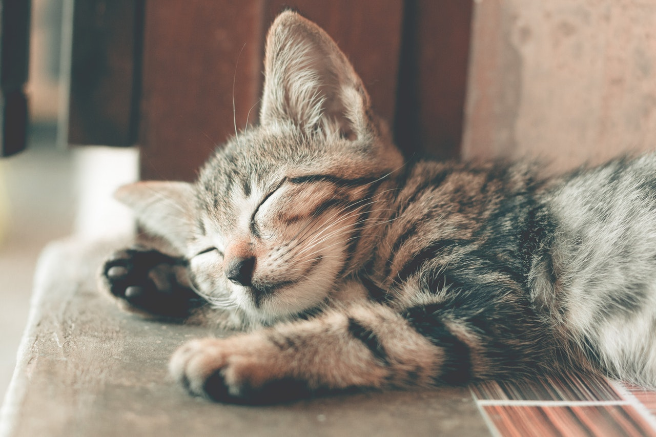 Cane Bay Summerville - How to Brush Your Cat's Teeth