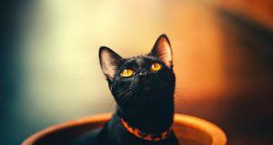 Cane Bay Summerville - Black Cats